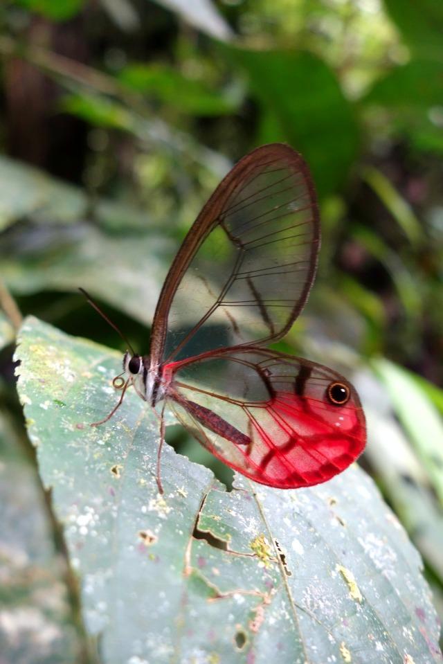 clearwingbutterfly