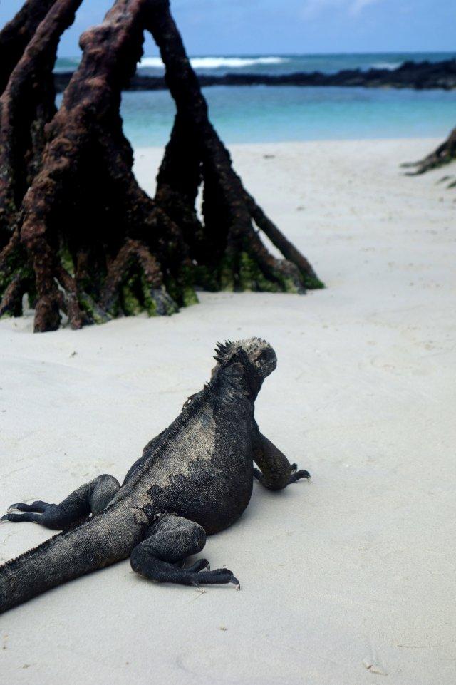 iguanamangrovebeach